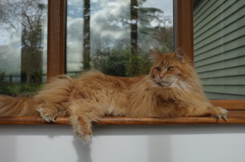 Do Maine Coon Cats Shed? Red tabby Maine Coon