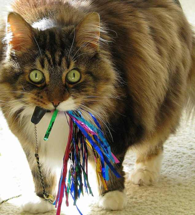 Are Maine Coons Good Hunters? Cat with toy