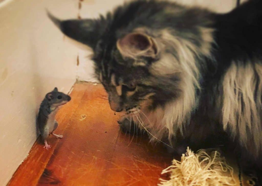 Are Maine Coons good hunters? cat and cornered mouse