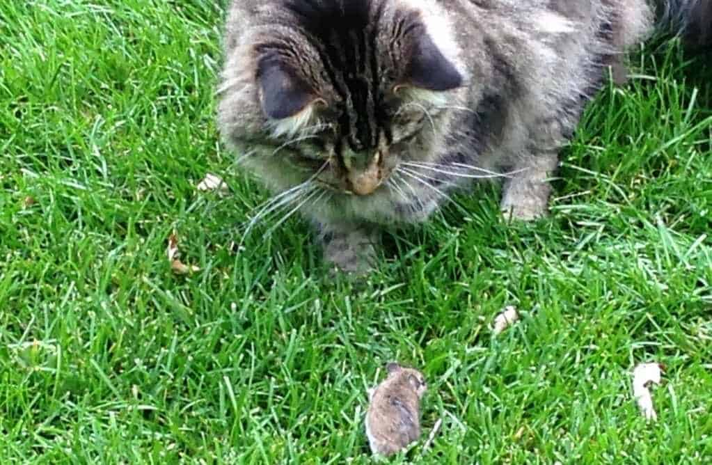 Are Maine Coons Good Hunters? Maine Coon hunting a mouse