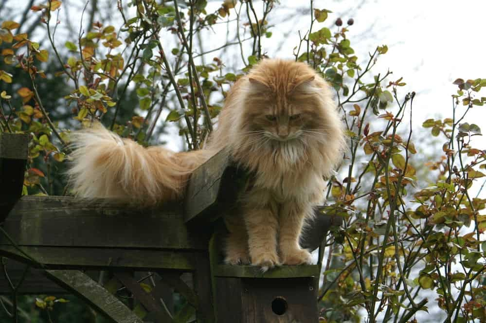 Why Do Maine Coons Talk So Much? Cat on a bird box