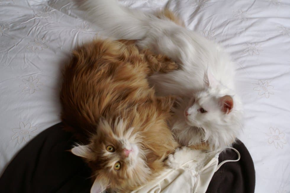 Do Maine Coon cats shed? Two Maine Coons snuggling