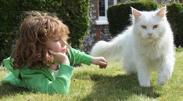 What is the personality of a Maine Coon Cat. Maine Coon and child