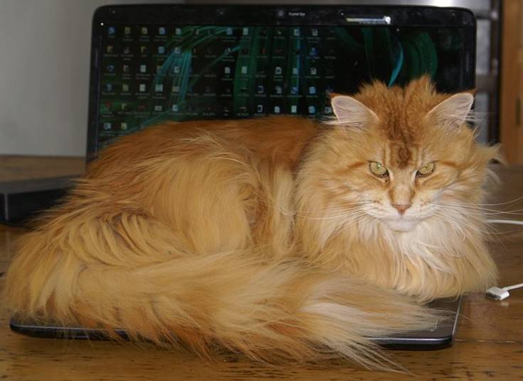 Why Do Maine Coons Talk So Much? Maine Coon on keyboard