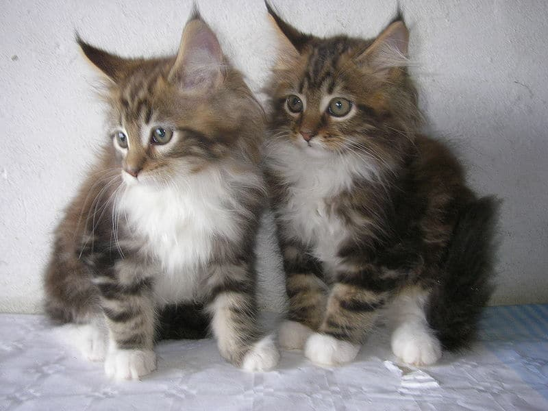 How Many Kittens Can a Maine Coon Have? kittens sitting
