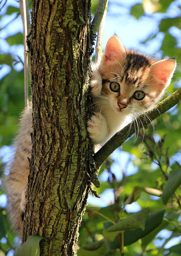 Do Maine Coons like to climb? Kitten in tree
