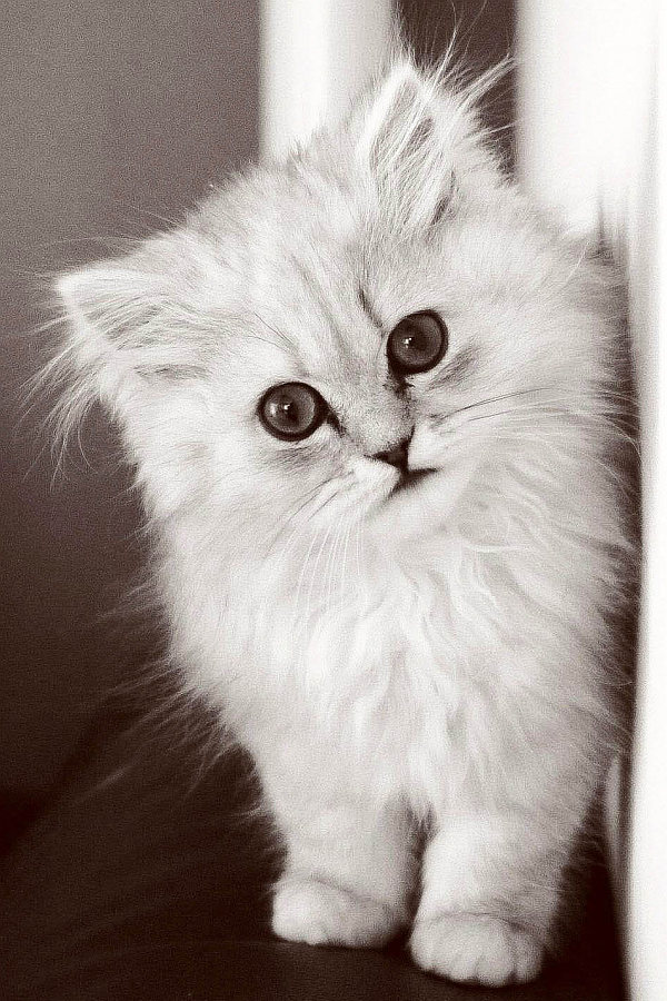 When Do Cats Stop Growing? Cute fluffy kitten