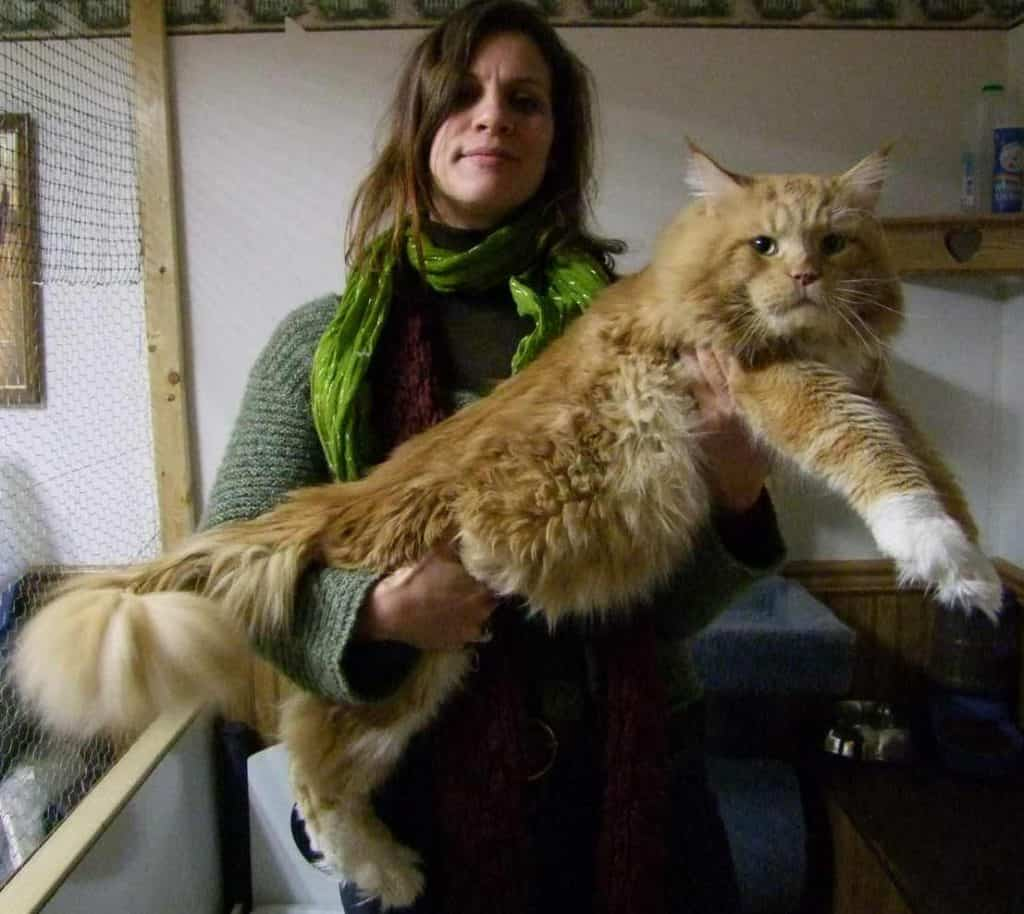 Maine Coon guide: Large red tabby Maine Coon