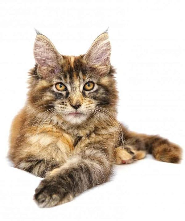 Maine Coon Guide: Tabby Maine Coon