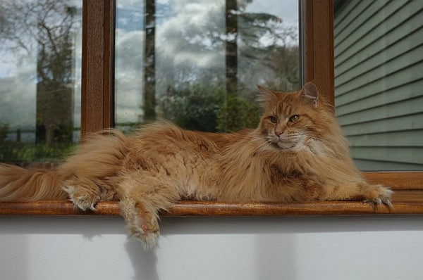 Average Weight of a Maine Coon Cat. Cat on ledge