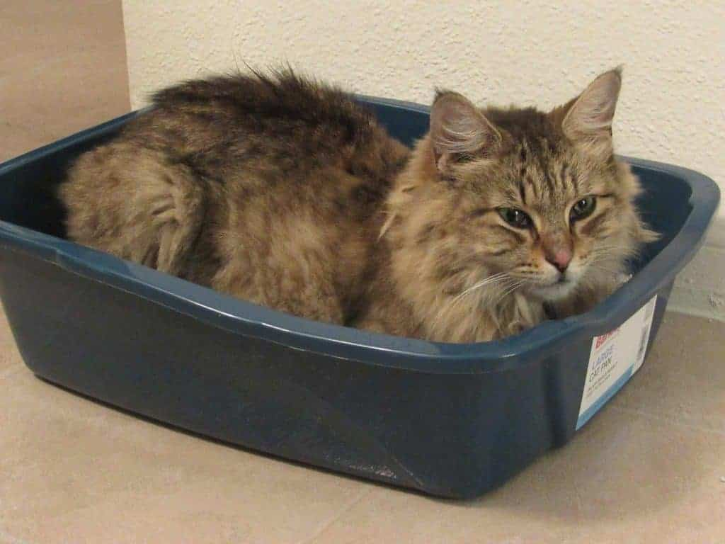 Are Maine Coons protective? Maine Coon laying in litter box