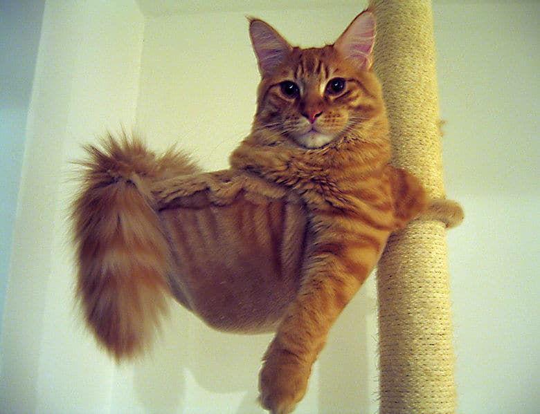 Are Maine Coons protective? Maine Coon in a cat tree