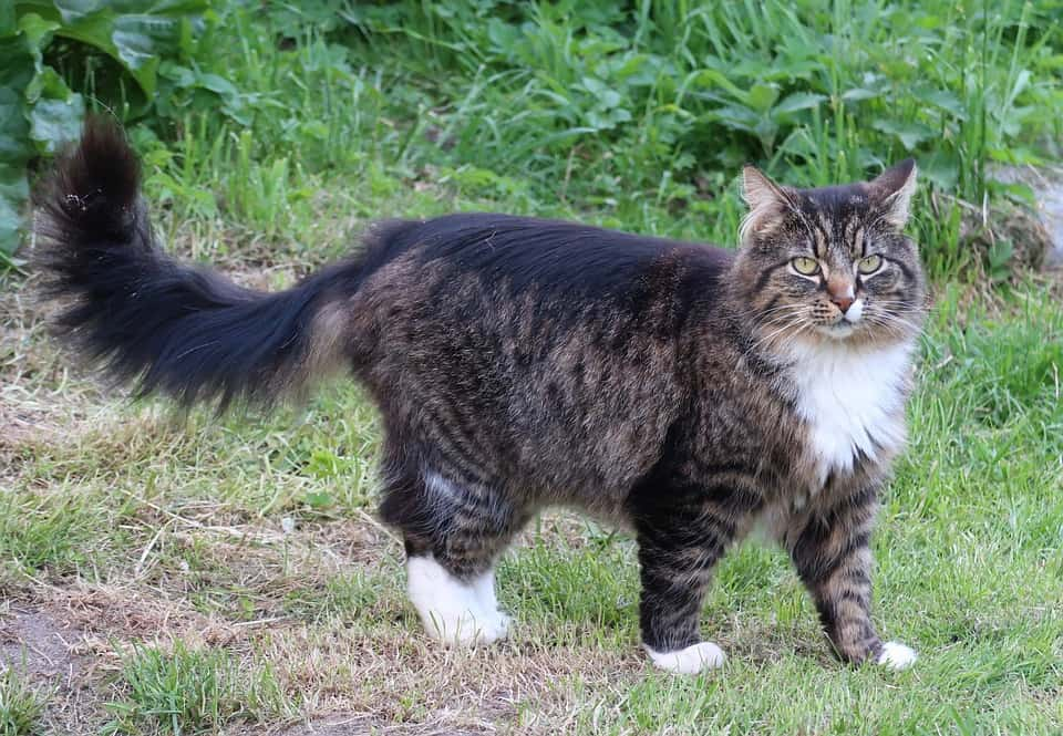 Maine Coon guide: Norwegian forest cat