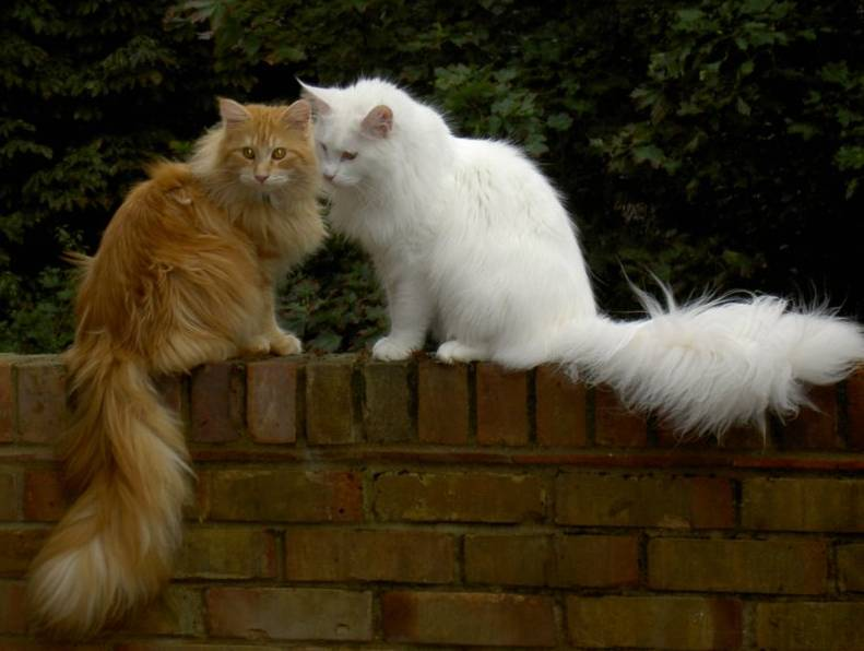 When will my Maine Coon die? Two Maine Coon cats