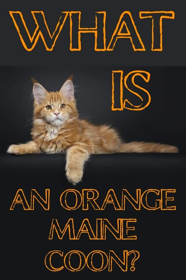 Can a Maine Coon be orange pin.
