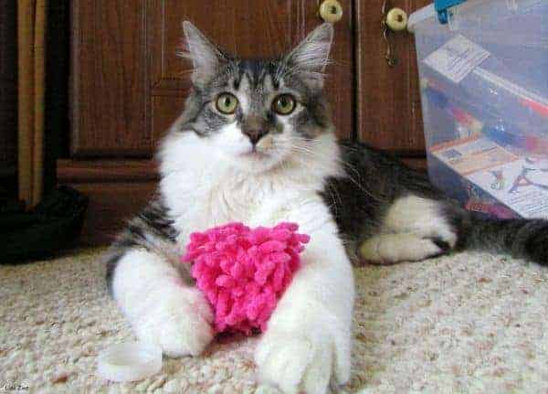 What Do Maine Coons Like To Play With?