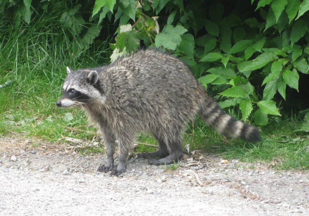 Maine Coon guide: A Raccoon