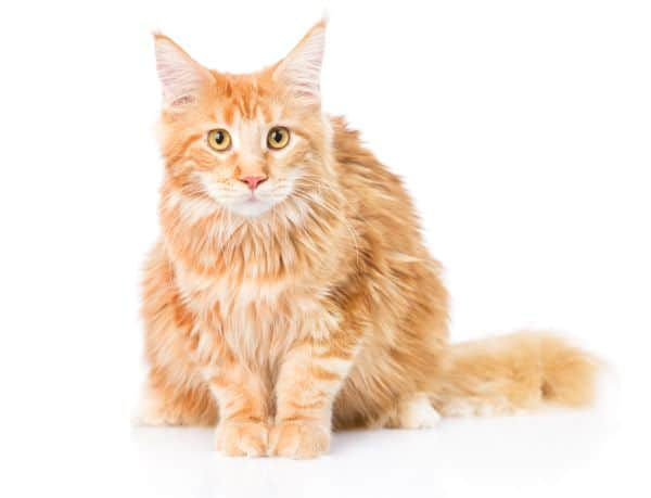 why do maine coons cry