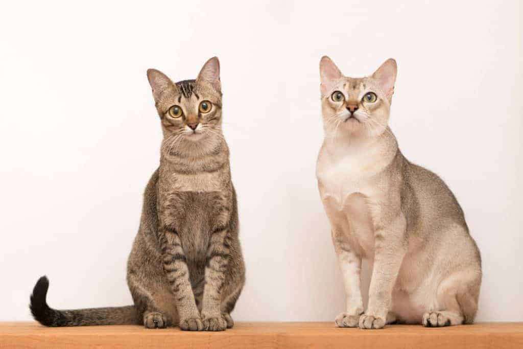 Can Maine Coons Be Small? Singapura cats