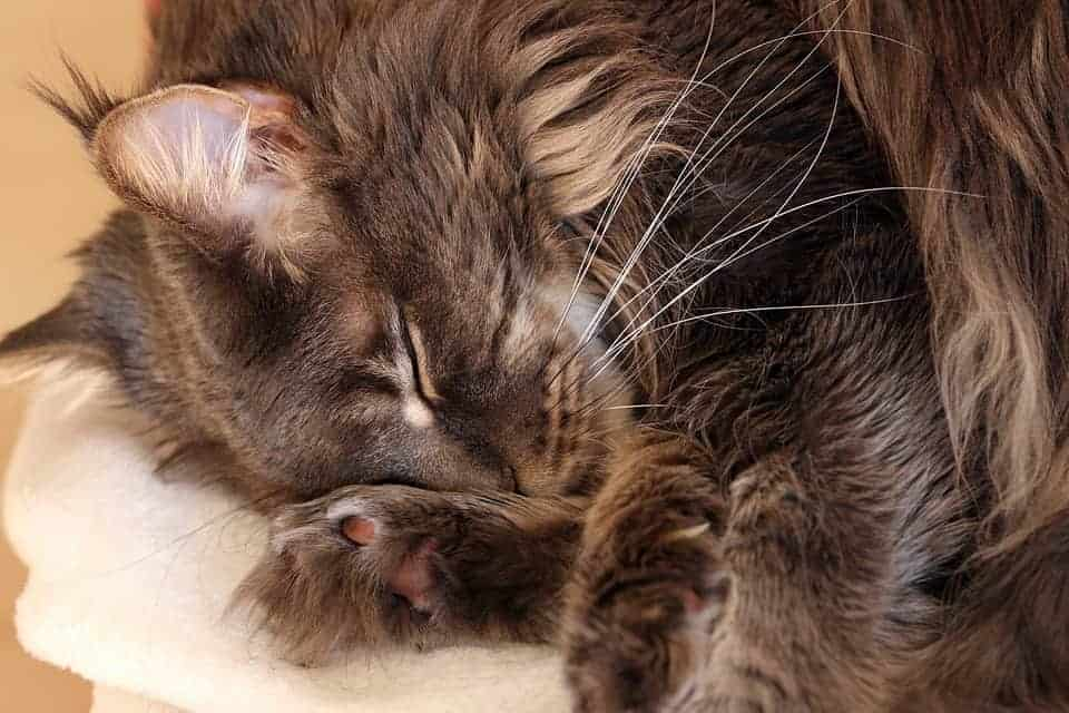 Why Do Maine Coons Sleep So Much? Cat curled up asleep