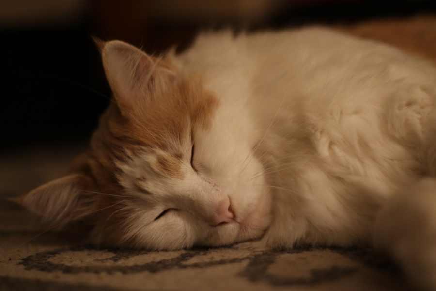 When will my Maine Coon die? Cat asleep