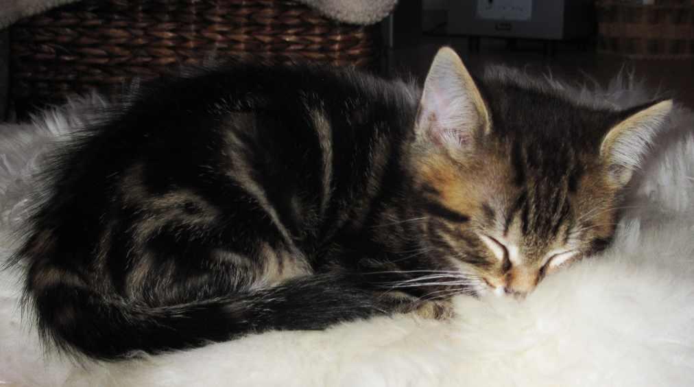 Why Do Maine Coons Sleep So Much? Kitten asleep