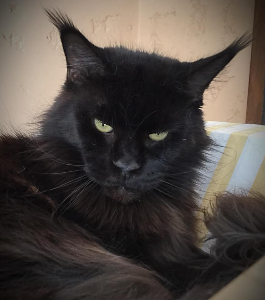 A black Maine Coon with tufted ears.
