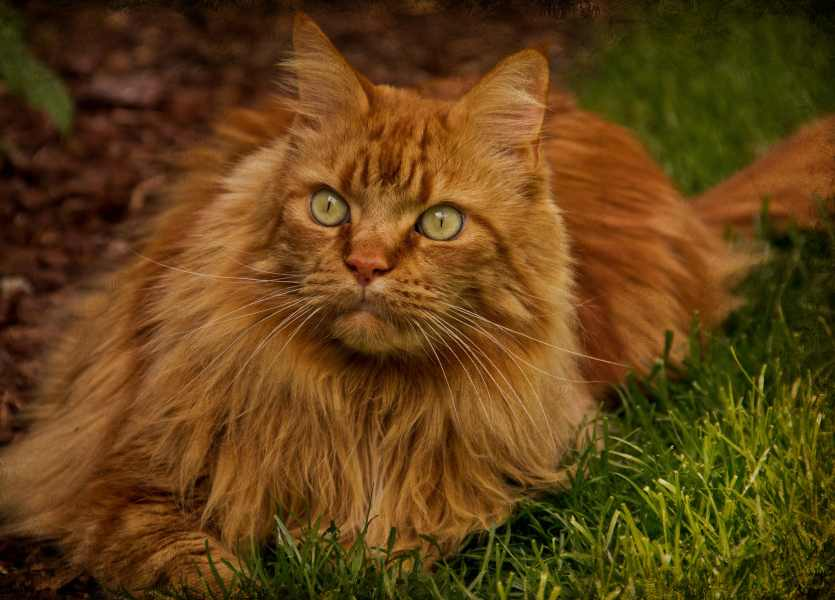 An orange Maine Coon with very slight shading.