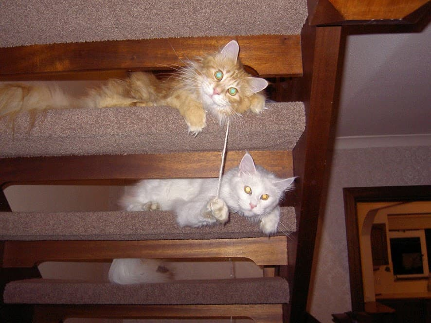 Are Maine Coon Cats Aggressive? Two Maine Coons playing on staircase
