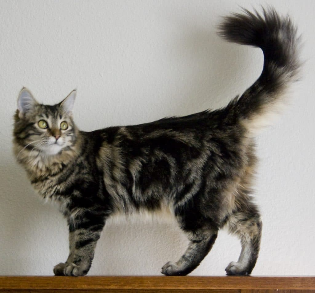 Are Maine Coons Part Lynx?