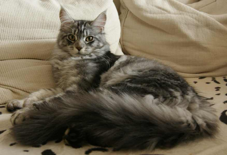 Average Weight of a Maine Coon Cat: cat with long tail