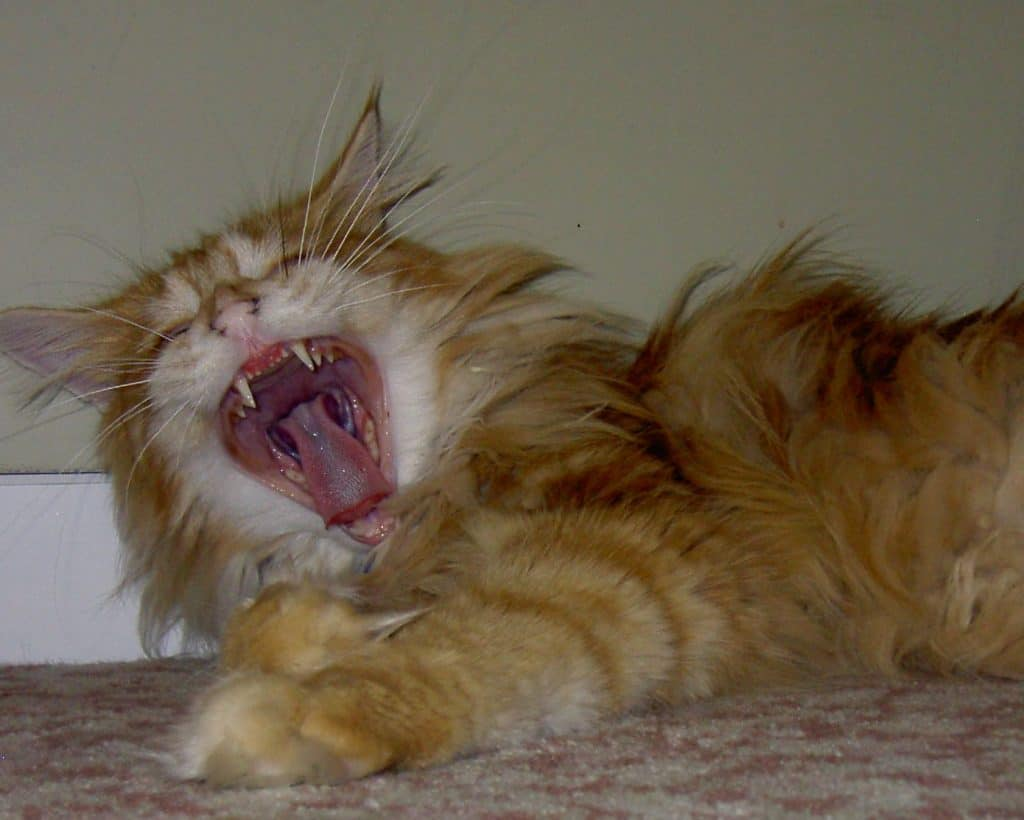 Why Do Maine Coons Talk So Much? Maine Coo teeth
