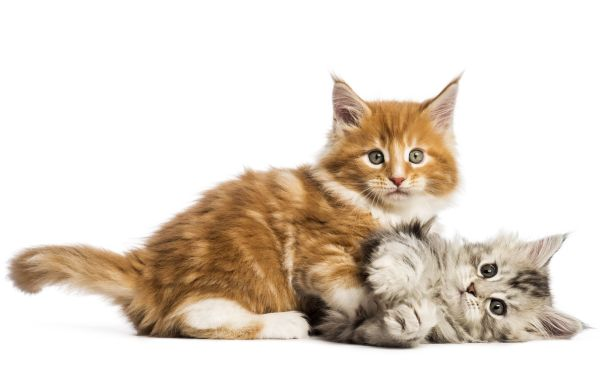 Where to find free Maine Coon kittens: Two Maine Coon kittens play fighting