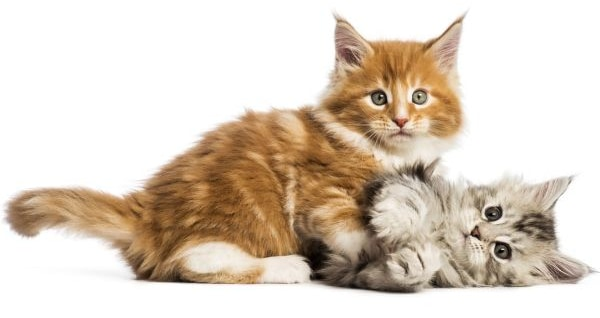 Maine Coon size: kittens playing