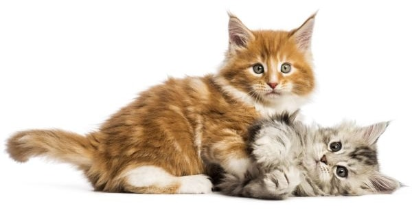 Can a Maine Coon Have Short Hair? Two kittens
