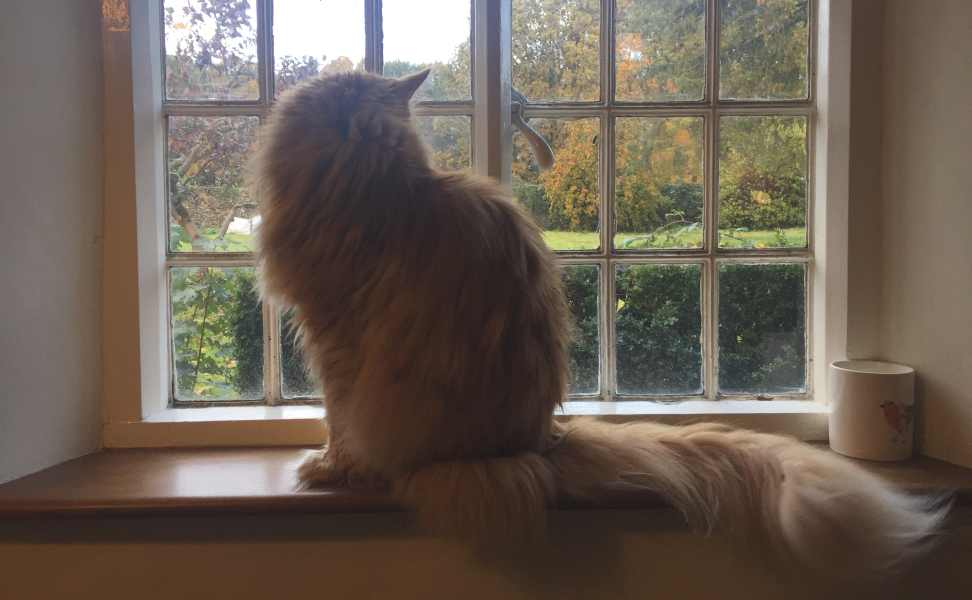 Are Maine Coon cats Aggressive? Maine Coon on window ledge