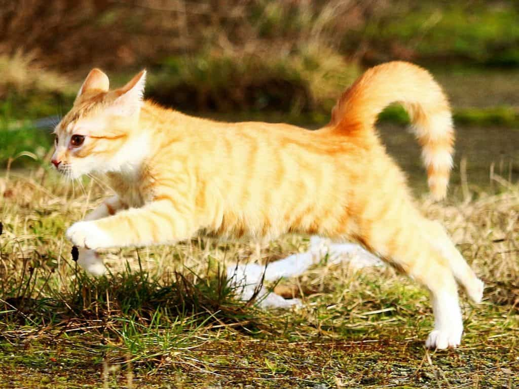 Cat zoomies: are they caused by stores energy or fear of predators?