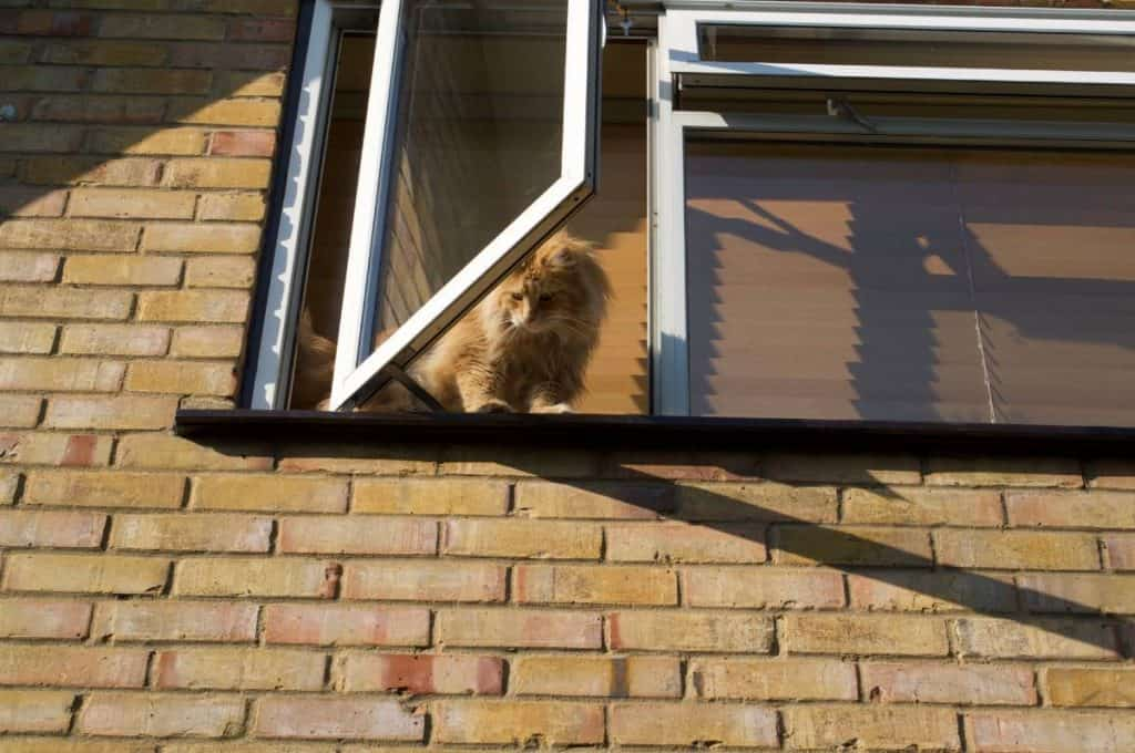 How To Calm a Nervous Cat: Our previous Maine Coon about to jump out the window