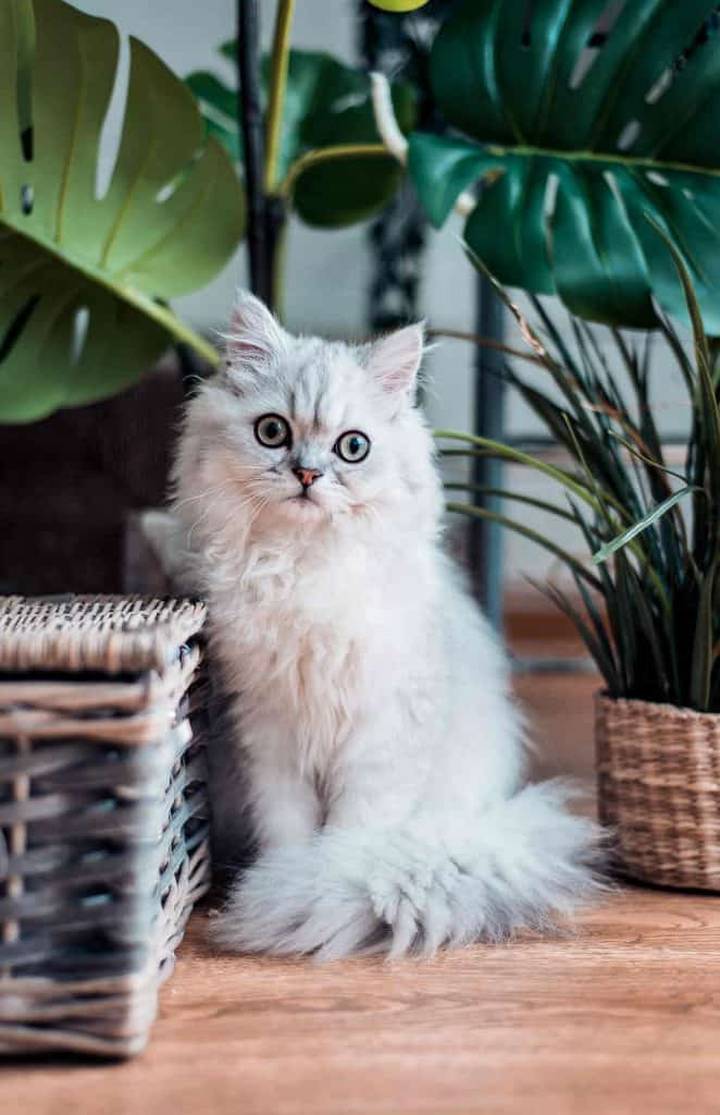 Chinchilla Persian with house plants