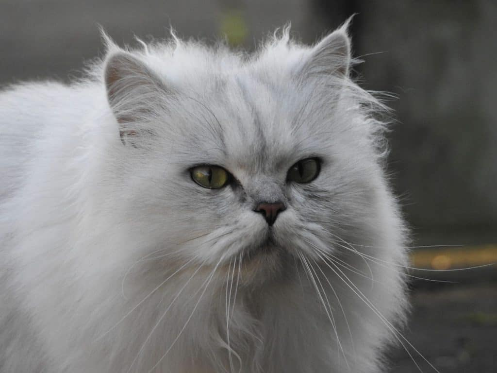 Fluffy Chinchilla Persian cat