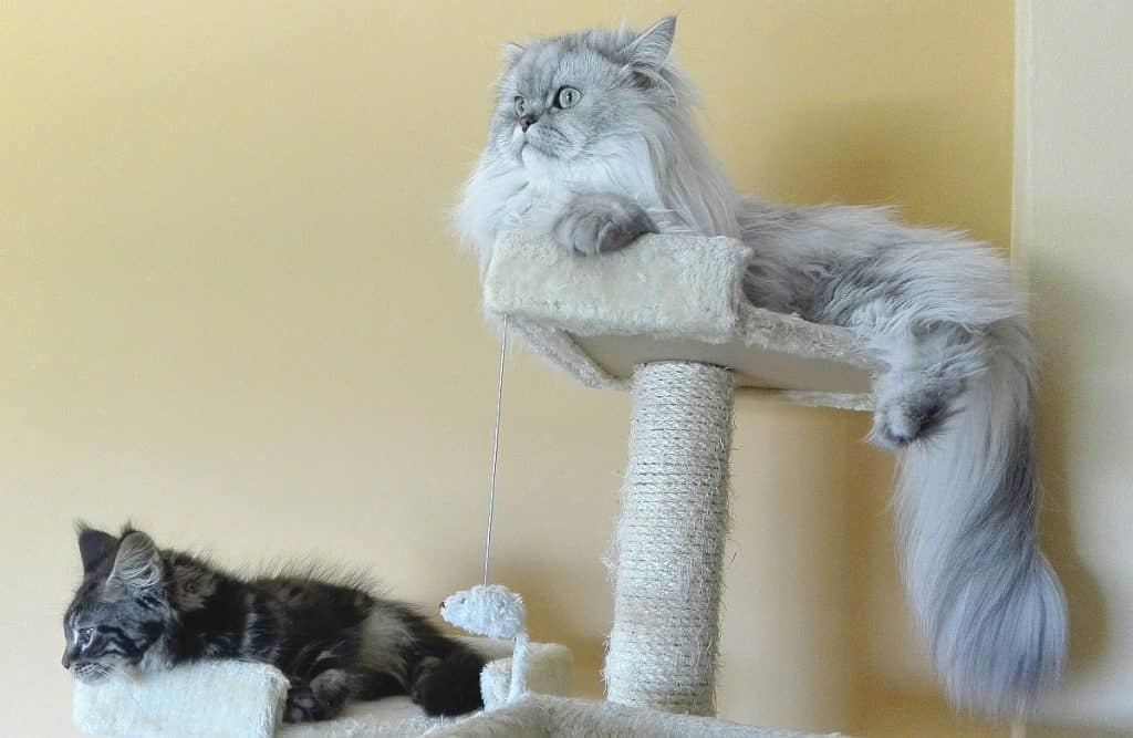 Chinchilla Persian on a cat tree