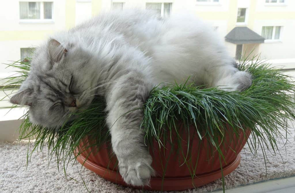 Chinchilla Persian cat  asleep in a plant pot