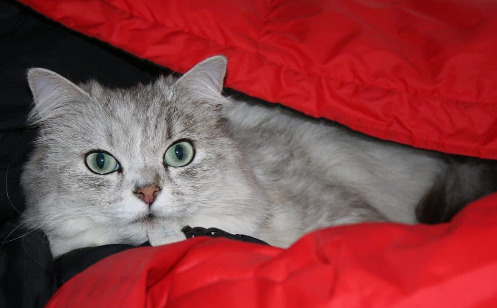 Chinchilla Persian in a red cover