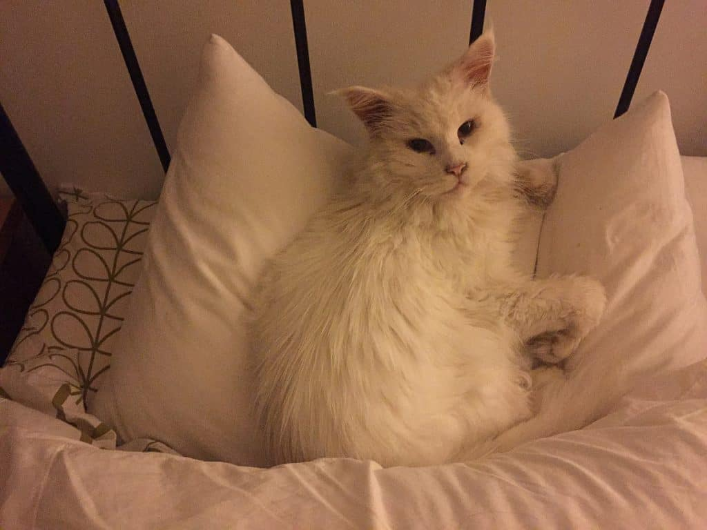 A white Maine Coon on a pillow
