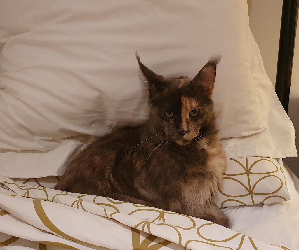 A cat waiting to sleep in her owner's bed.