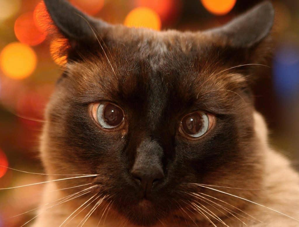 Siamese cat staring