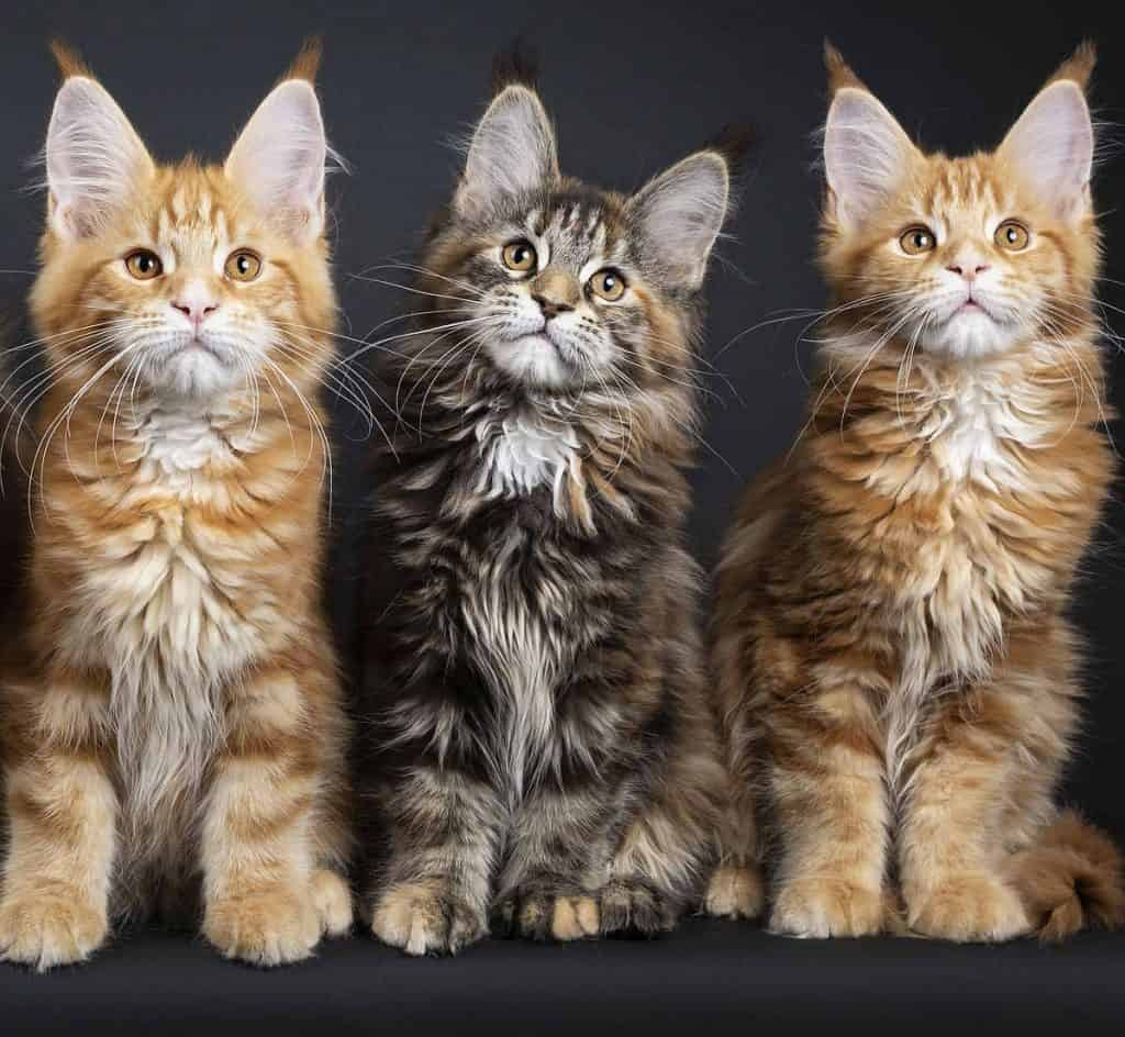Three cheeky Maine Coon kittens