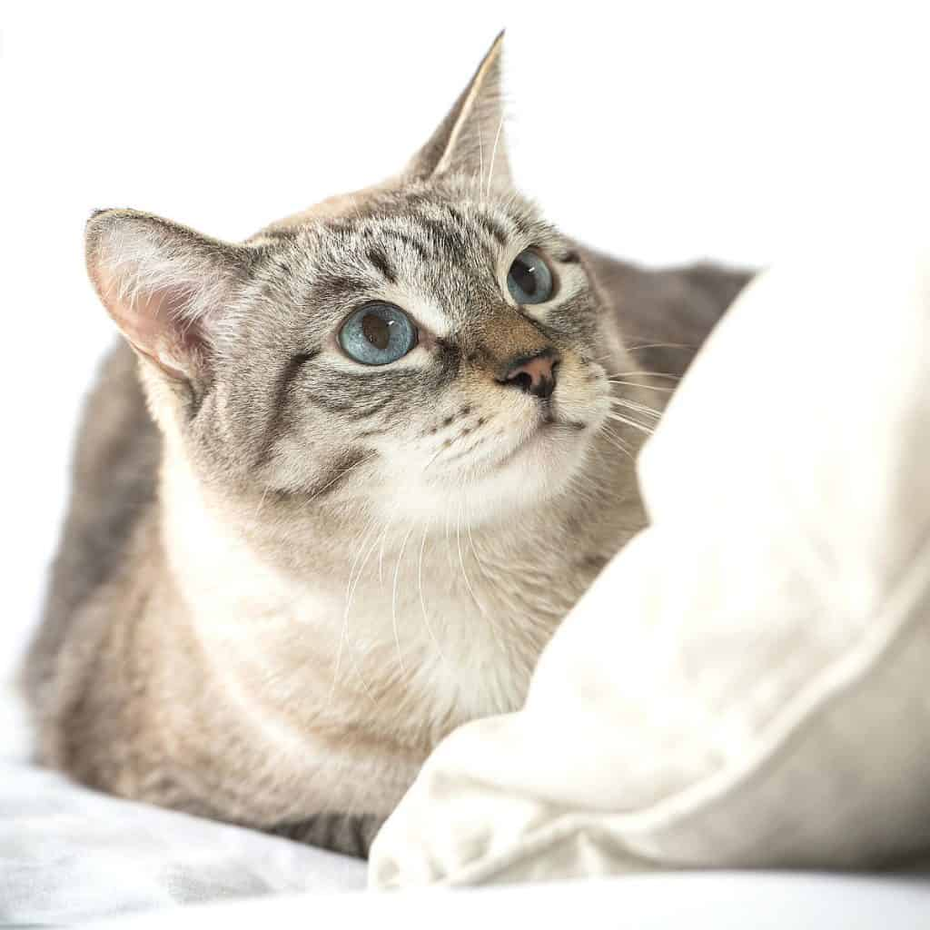 Cat on white bed clothes