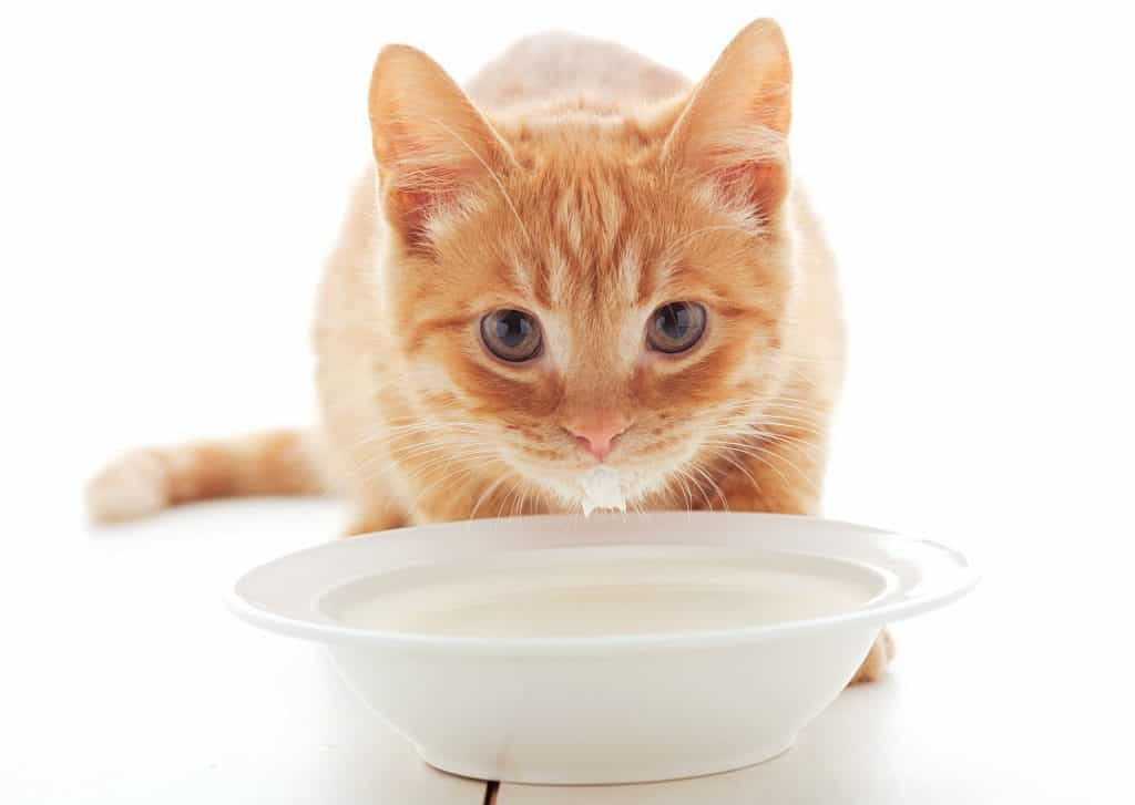 Cats should not drink milk due to their inability to digest its lactose content