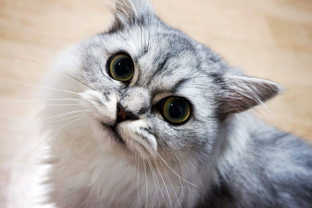 Chinchilla Persian cat using its eyes to get its own way